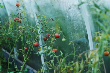 tomatoes-1180852_1920
